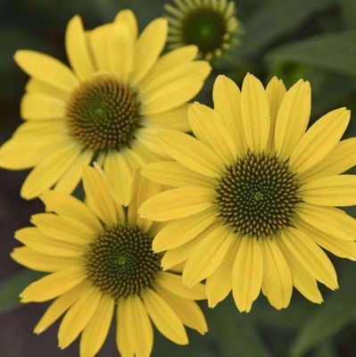Picture of Echinacea 'Canary Feathers'