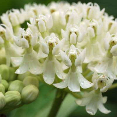Picture of Asclepias incarnata 'Ice Ballet'
